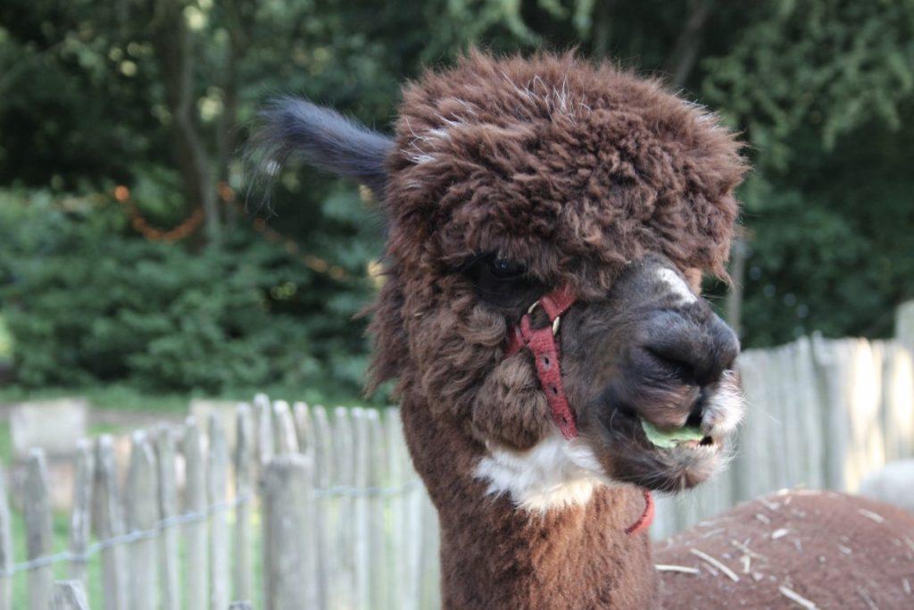 Alpaca - Dierenweide - Camping Lelystad Buytenplaets Suydersee met kinderen