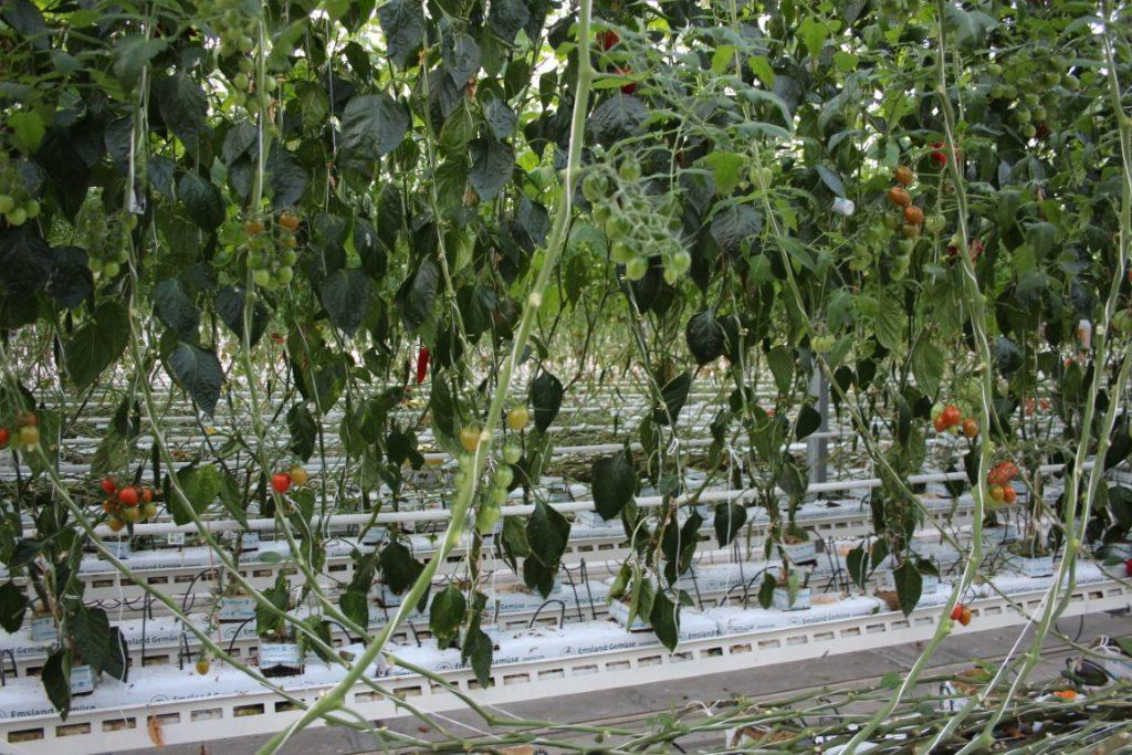 Emsflower Showkas Tomaten Kwekerij